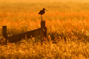 NIS80322 Black-tailed Godwit (Limosa limosa) perhed on a fence in flowering grassland at sunset, The Netherlands, Zuid-holland
