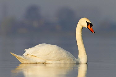 NIS83716 Mute Swan (Cygnus olor) floating on a smooth water surface, The Netherlands, Zuid-holland