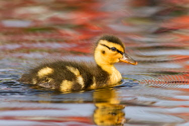 NIS84218 Wild Duckling (Anas platyrhynchos) swimming in the water, its body reflected in the smooth water surface, The Netherlands, Zuid-holland