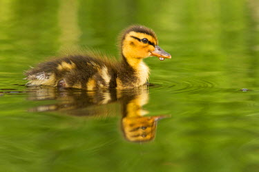 NIS84226 Wild Duckling (Anas platyrhynchos) swimming in the water, its body reflected in the smooth water surface., The Netherlands, Zuid-holland