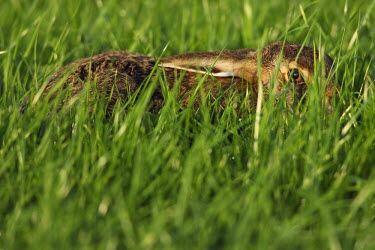 NIS84393 European Hare (Lepus europaeus) hiding in tall grass, The Netherlands, Gelderland