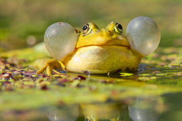 NIS89042 Pool frog (Pelophylax lessonae) male inflating its vocal sacs and croaking, The Netherlands, Zuid-hollnad