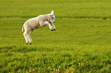 Lamb (Ovis aries) leaping through the meadow on a sunny spring day., The Netherlands, Zuid-Holland, Waddinxveen