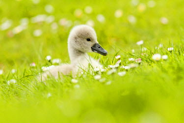 Mute Swan (Cygnus olor) cygnet foraging in the grass, The Netherlands, Zuid-holland