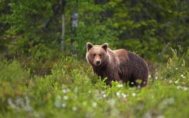 NIS97680 Brown Bear (Ursus arctos) standing in forest, Sweden, Halsingland