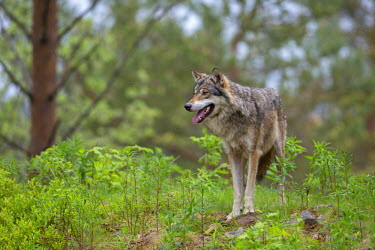 NIS97684 Gray Wolf (Canis lupus)  adult standing in forest during rain, Sweden, Dalarna, Orsa