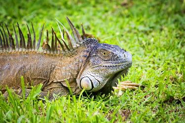CR33111AW Tortuguero National Park, Costa Rica, Central America.  Wild male Iguana close up