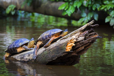 CR33116AW Tortuguero, Costa Rica, wild turtles on a