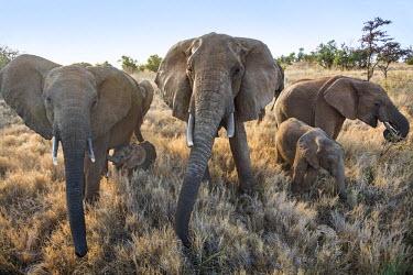 KEN10081 Kenya, Meru County, Lewa Wildlife Conservancy. A family of African elephants in the early morning.