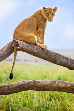 KEN10093 Kenya, Meru County, Lewa Wildlife Conservancy. A Lioness sitting on the branch of a dead tree.