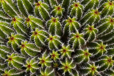 ES09223 Spain, Canary Islands, Lanzarote, Guatiza, cactus plant detail