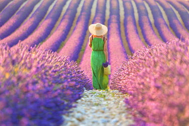 CLKAD28071 Europe, France, Provence-Alpes-Cote d'Azur, Plateau of Valensole. Woman in lavender field.