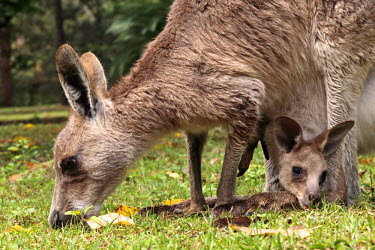 AUS2146 Eastern grey kangaroo with joey in pouch at Carnarvon National Park, central highlands of Queensland, Australia