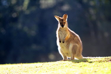 AUS2163 Red-necked wallaby (also known as Brush wallaby, Brush kangaroo, Brusher and Red wallaby) basking in early morning sunshine, Bunya Mountains National Park, Queensland, Australia