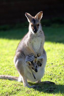 AUS2165 Red-necked wallaby with joey in its pouch, Bunya Mountains National Park, Queensland, Australia