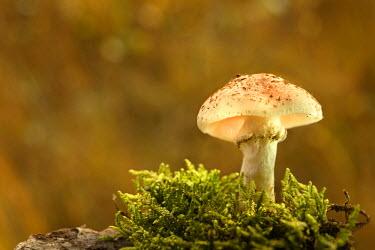 NIS1392 Honey Mushroom (Armillaria mellea) growing in moss, The Netherlands, Gelderland, Nationaal park De Hoge Veluwe