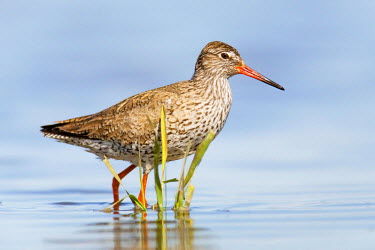 NIS219971 Common Redshank (Tringa totanus) standing in a flooded meadow, The Netherlands, Noord-Holland, Marken