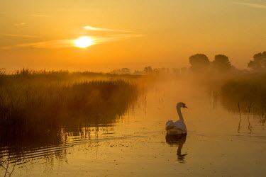 NIS222065 Mute Swan (Cygnus olor) swimming at sunrise, The Netherlands, Zeeland, Middelburg