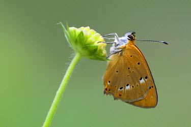 NIS223794 Male Scarce Copper (Lycaena virgaureae) resting on bud, Bulgaria