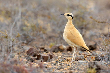 NIS223946 Cream-colored Courser (Cursorius cursor) adult standing in a field, Spain, Canary Islands, Fuerteventura