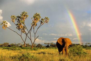 NIS224480 African elephant (Loxodonta africana) with rainbow and doum palm (Hyphaene thebaica), Kenya, Samburu National Reserve