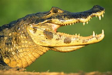 NIS224491 Yacare caiman (Caiman yacare) sunbathing, Brazil, Mato Grosso, Pantanal