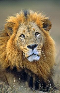 NIS224512 Lion (Panthera leo) portrait, Kenya, Lake Nakuru National Park
