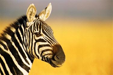 NIS224534 Common zebra (Equus quagga) portrait, Kenya, Maasai Mara National Reserve