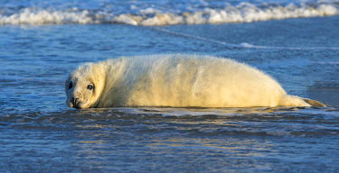 NIS224618 Grey Seal (Halichoerus grypus) pup resting in shallow sea water, Germany, Schleswig-Holstein, Helgoland