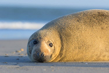 NIS224627 Grey Seal (Halichoerus grypus) resting on the beach, Germany, Schleswig-Holstein, Helgoland