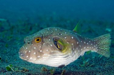 NIS224747 White-spotted Pufferfish (Arothron hispidus) swimming, Indonesia, Bali, Pemuteran, Puri jati