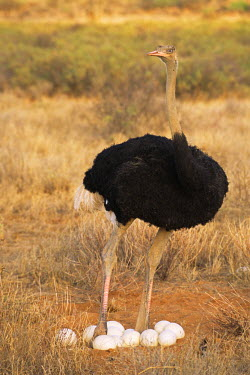 NIS225151 Somali ostrich (Struthio molybdophanes) father with eggs, Kenya, Samburu National Reserve