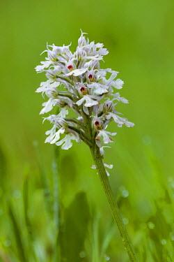NIS226520 Conical Orchid (Neotinea tridentata subsp. conica) flowering, Spain, Extremadura, Almaraz, Embalse de Arrocampo