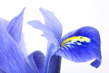NIS226575 Dwarf Beardless Iris (Iris reticulata) against a white background, The Netherlands