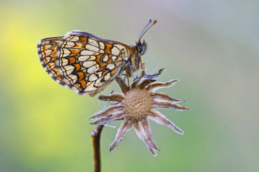 NIS226612 Heath Fritillary (Melitaea athalia) resting on capsule, Croatia, Velebit Mountains
