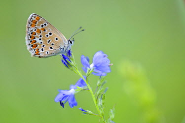 NIS226649 Side view of Brown Argus (Aricia agestis) resting on unidentified blue flower, Bulgaria