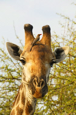 NIS226948 Portrait of a Giraffe (Giraffa camelopardalis) with a Red-billed Oxpecker (Buphagus erythrorhynchus).  The Giraffe and the Red-billed Oxpeckers have a symbiotic relationship. The bird gains food by ea...