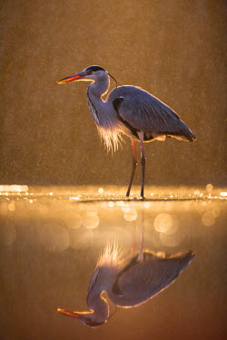 NIS227747 Grey Heron (Ardea cinerea)  standing in shallow water  during an evening rainstorm backlit, Hungary, Bacs-kiskun, Kiskunsagi National Park