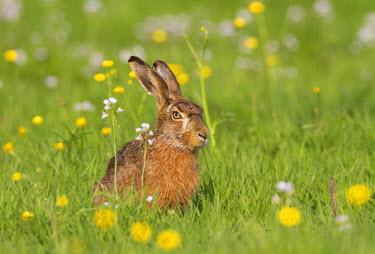 NIS227937 European Hare (Lepus europaeus) sitting in meadow between wildflowers, The Netherlands