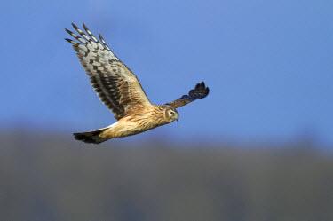 NIS227952 Hen Harrier (Circus cyaneus) in flight, The Netherlands
