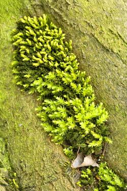 NIS228578 Horn Calcareous Moss (Mnium hornum) growing between tree roots, Gulpen, Limburg, The Netherlands, The Netherlands