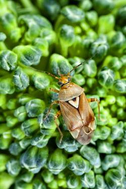 NIS228601 Lygus Bug (Lygus pratensis) on broccoli, Den Helder, Noord-Holland, The Netherlands, The Netherlands