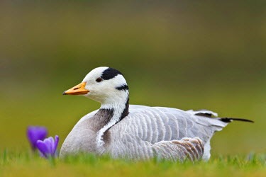 NIS229032 Bar-headed Goose (Anser indicus) resting, Germany