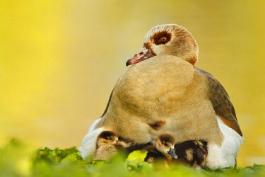 Chicks of Egyptian Goose (Alopochen aegyptiacus) gathering under the wings, Germany, Hessen, Frankfurt/Main
