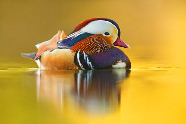 NIS229247 Male Mandarin Duck (Aix galericulata) resting in the late afternoon light, Germany, Hessen, Morfelden