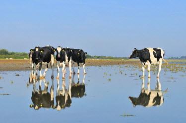 NIS229614 Domestic Cattle (Bos taurus) cows in shallow water, Hompelvoet, Grevelingen, Zeeland, The Netherlands, The Netherlands, Zeeland