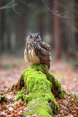 NIS229753 Eurasian Eagle-owl (Bubo bubo) sitting on a moss-covered tree-stump in a forest clearing, Czech Republic, South Bohemia, Zdarske vrchy