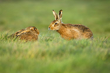 NIS229770 Brown hares (Lepus europaeus) pair male approaching female during mating season in March, England, Suffolk