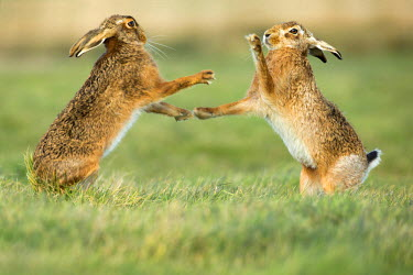 NIS229772 Brown hares (Lepus europaeus) standing and boxing during mating season in March, England, Suffolk