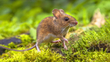 NIS230616 Wood Mouse (Apodemus sylvaticus) walking on a green mossy forest floor, The Netherlands